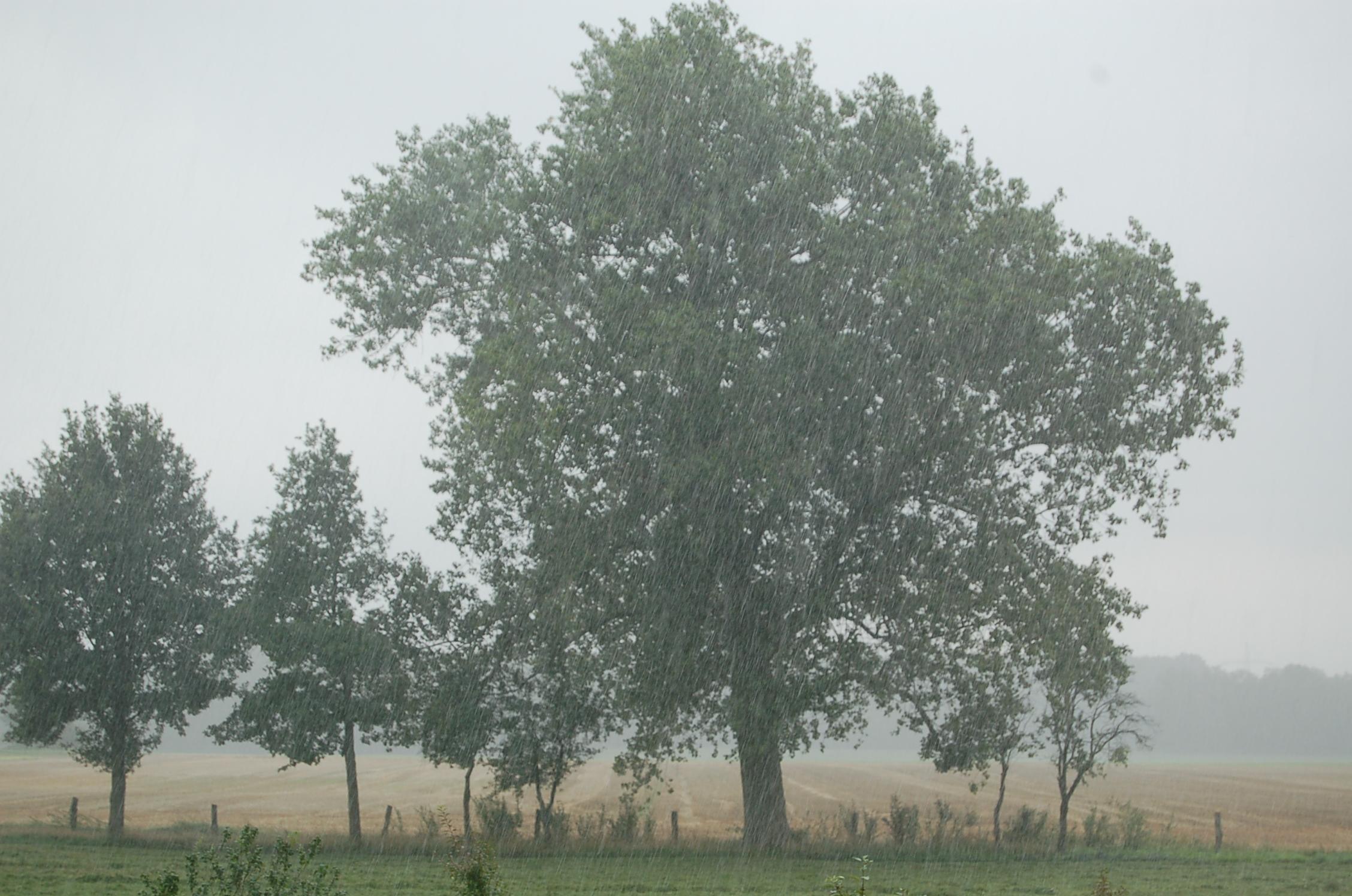 Pappel im Regen