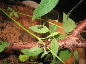 Kleine Rote Waldameise = Kahlrückige Waldameise (formica polyctena)